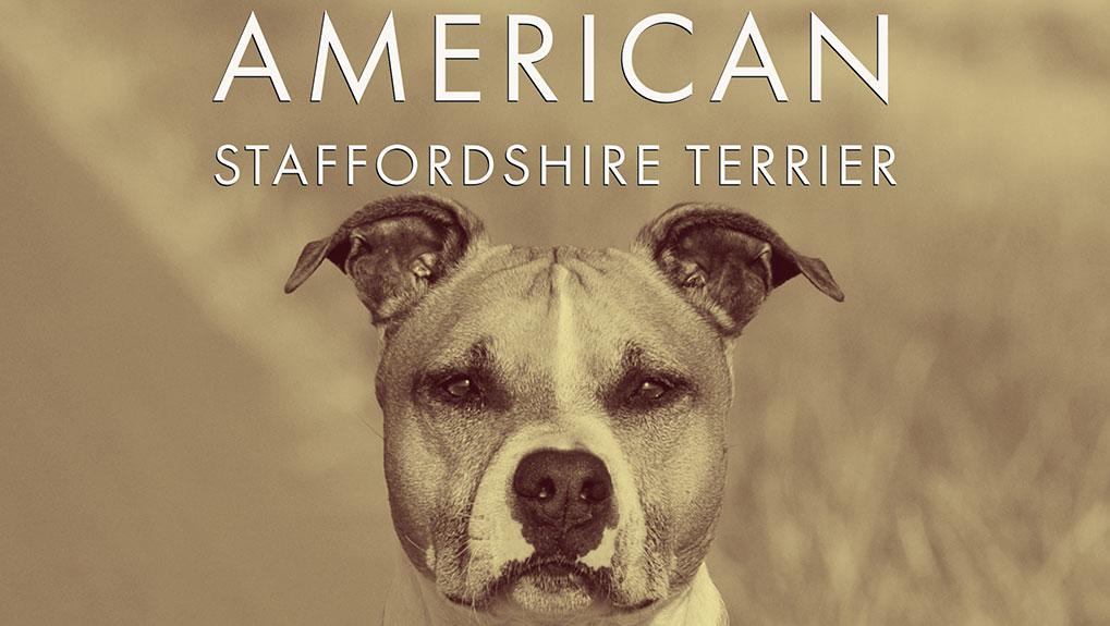 amstaff American Staffordshire Terrier bild monkimau