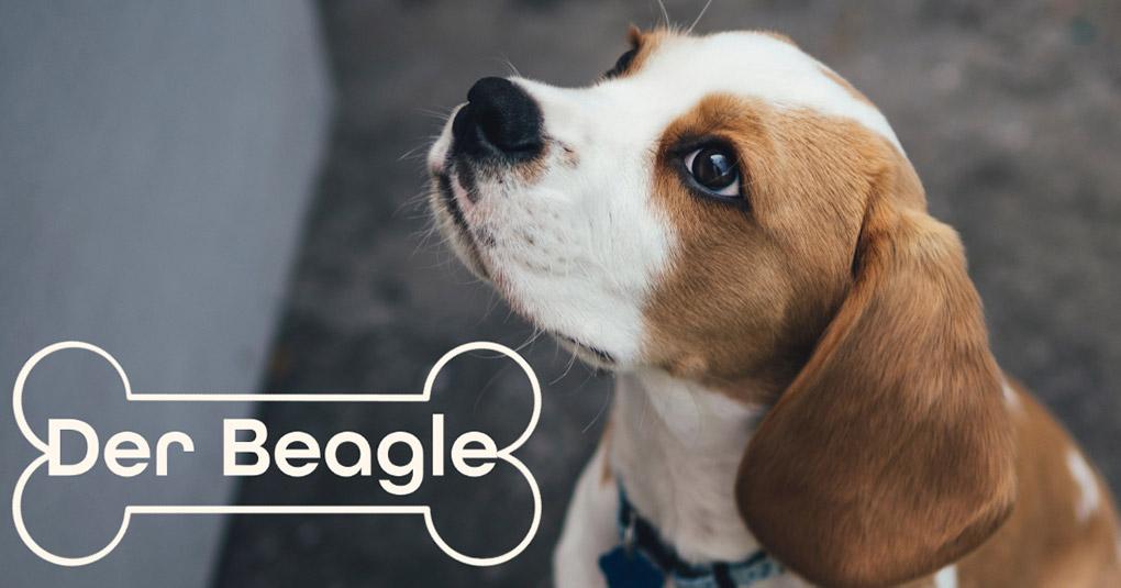 beagle hund bild monkimau