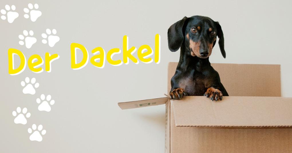 dackel dachshund bild monkimau