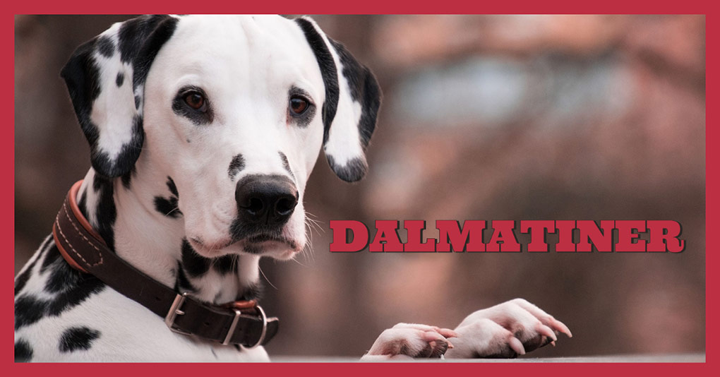 dalmatiner bild monkimau
