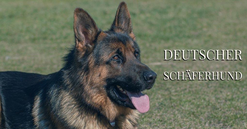 deutscher schaeferhund bild