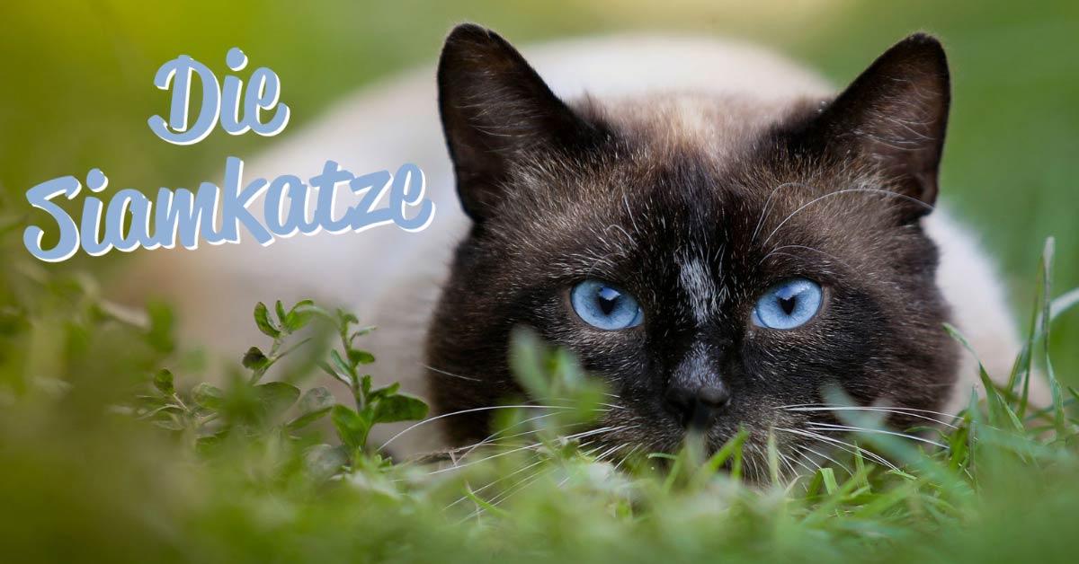 die siamkatze auf einer wiese liegend mit ihren blauen augen