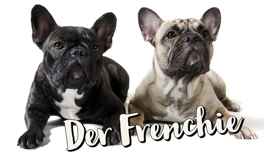 Franzoesische Bulldogge Bully Frenchie Hund