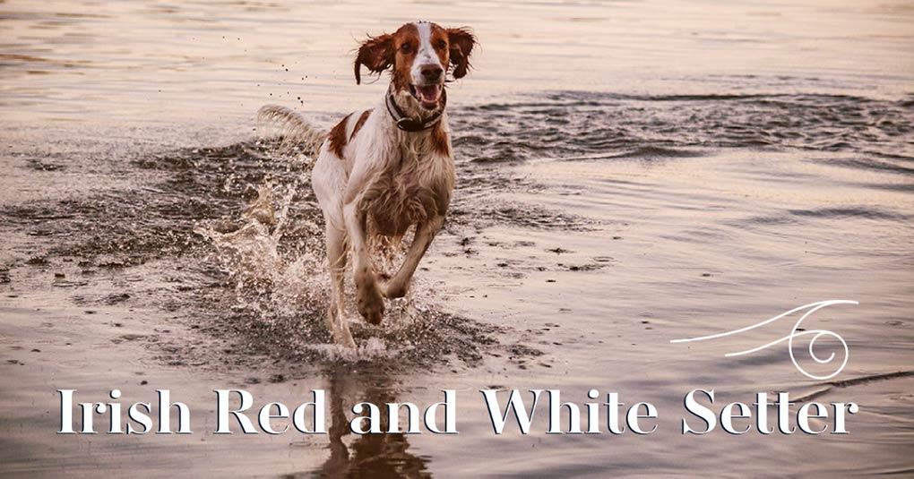 irish red and white setter bild monkimau